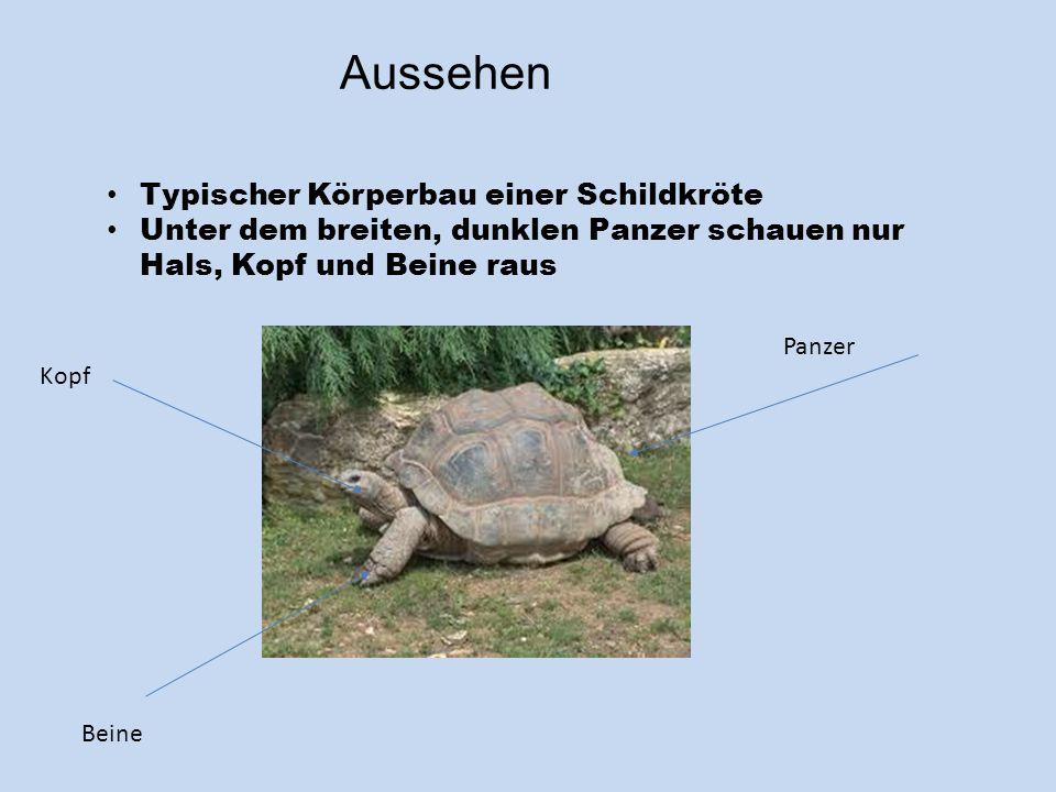 Aussehen Typischer Körperbau einer Schildkröte Unter dem breiten, dunklen Panzer schauen nur Hals, Kopf und Beine raus Panzer Beine Kopf