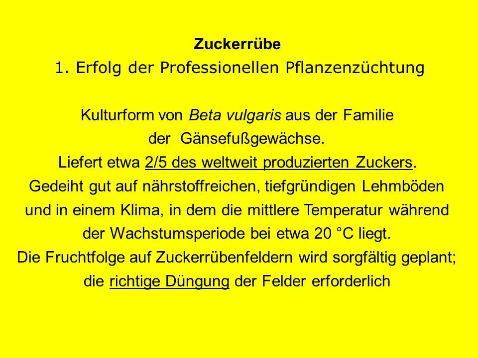Zuckerrübe 1. Erfolg der Professionellen Pflanzenzüchtung Kulturform von Beta vulgaris aus der Familie der Gänsefußgewächse. Liefert etwa 2/5 des welt