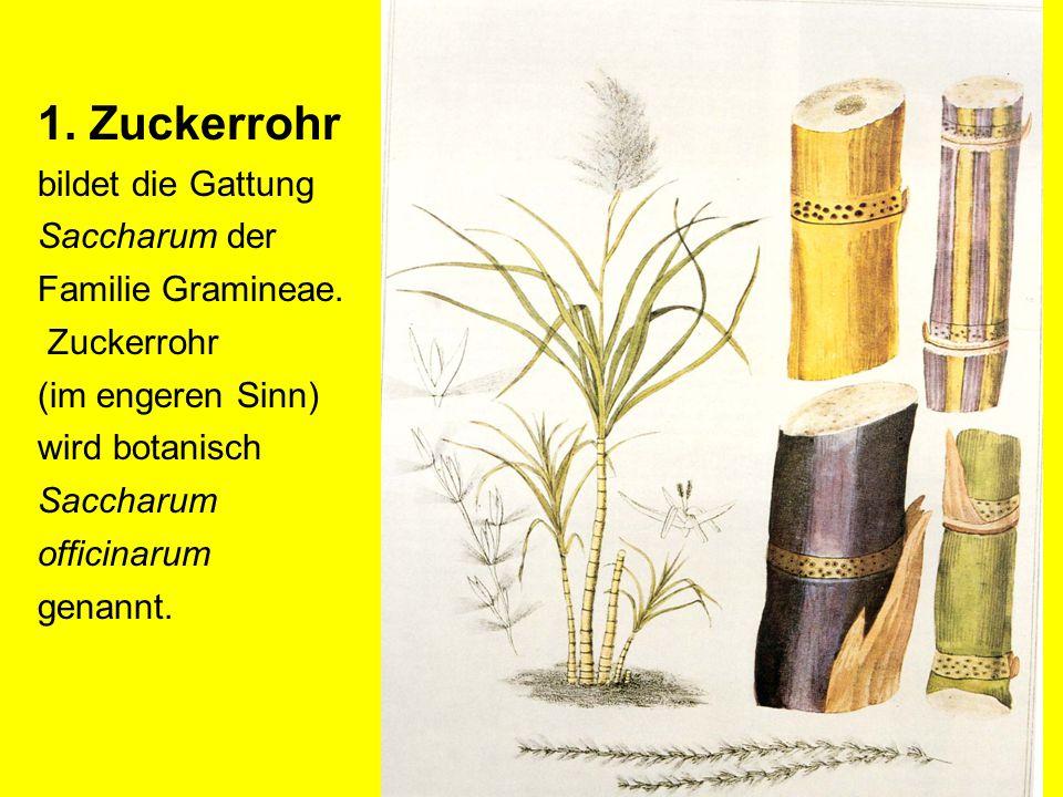 1. Zuckerrohr bildet die Gattung Saccharum der Familie Gramineae. Zuckerrohr (im engeren Sinn) wird botanisch Saccharum officinarum genannt.