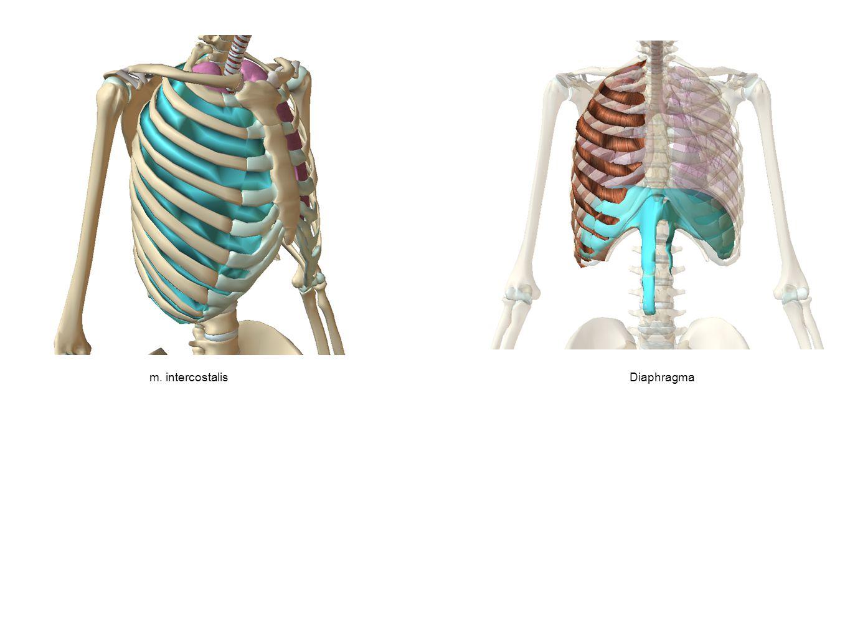 m. intercostalisDiaphragma