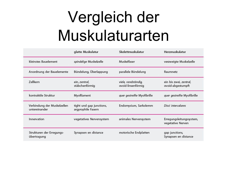Vergleich der Muskulaturarten