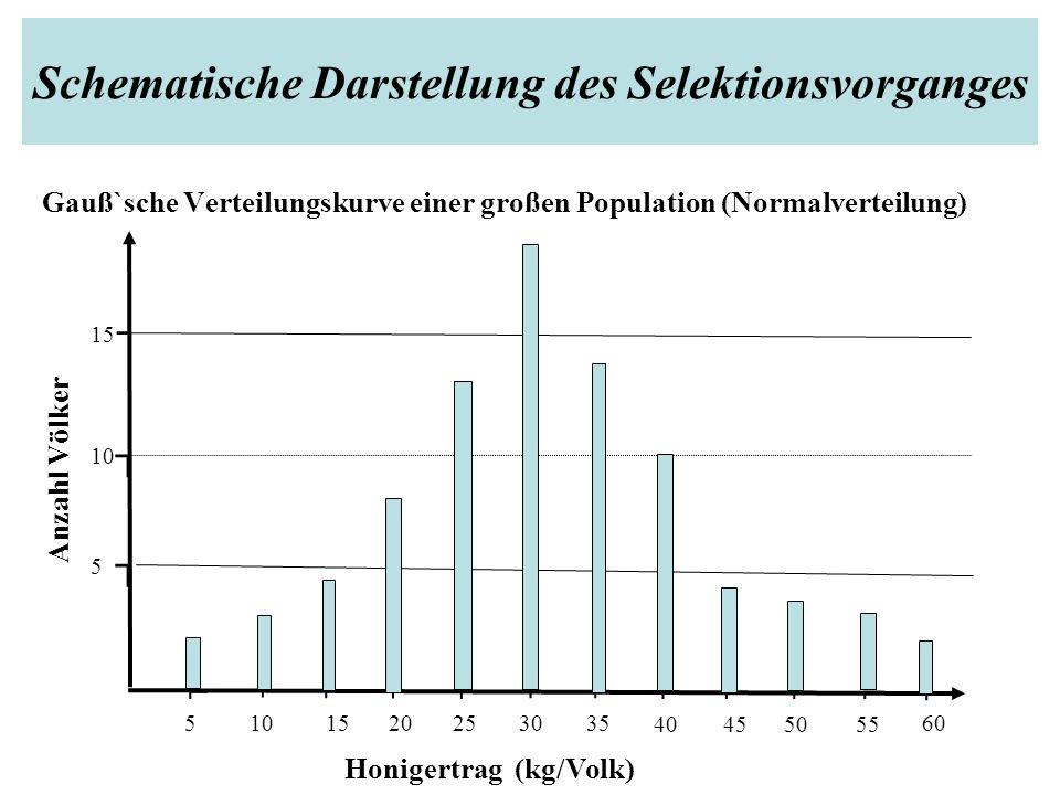 Schematische Darstellung des Selektionsvorganges Gauß`sche Verteilungskurve einer großen Population (Normalverteilung) ⌐ ⌐ ⌐ ⌐ ⌐⌐ ⌐⌐⌐⌐ ⌐ ┐ ┐ ┐ 10 Anzahl Völker ⌐ 20 5 10 15 5 253035 40455055 60 Honigertrag (kg/Volk)