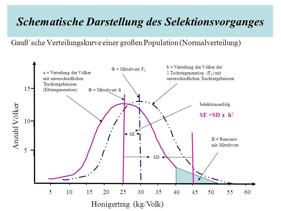 Schematische Darstellung des Selektionsvorganges Gauß`sche Verteilungskurve einer großen Population (Normalverteilung) ⌐ ⌐ ⌐ ⌐ ⌐⌐ ⌐⌐⌐ ⌐ ┐ ┐ ┐ 10 Anzahl Völker ⌐ 20 5 10 15 5 253035 40455055 60 Honigertrag (kg/Volk) a = Verteilung der Völker mit unterschiedlichen Trachtergebnissen (Elterngeneration) Φ = Mittelwert a b = Verteilung der Völker der 1.Tochtergeneration (F 1 ) mit unterschiedlichen Trachtergebnissen SE Selektionserfolg SE =SD x h 2 SD B = Remonte mit Mittelwert Φ = Mittelwert F 1