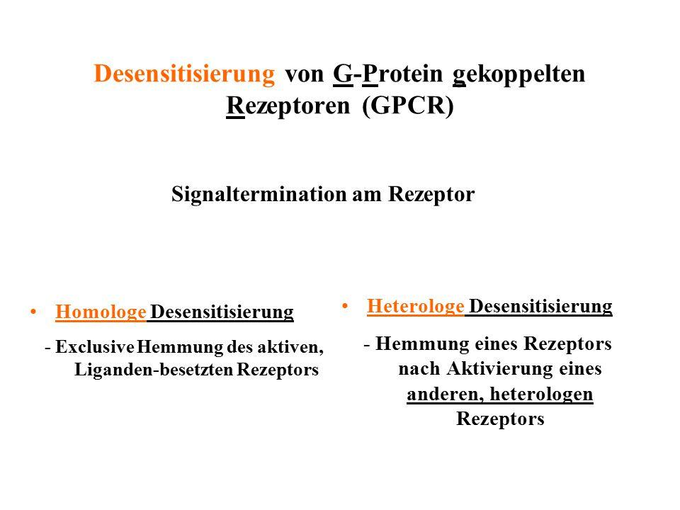 Desensitisierung von G-Protein gekoppelten Rezeptoren (GPCR) Homologe Desensitisierung - Exclusive Hemmung des aktiven, Liganden-besetzten Rezeptors H