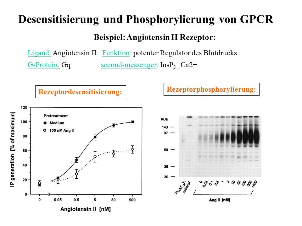 Desensitisierung und Phosphorylierung von GPCR Beispiel: Angiotensin II Rezeptor: Ligand: Angiotensin II Funktion: potenter Regulator des Blutdrucks G