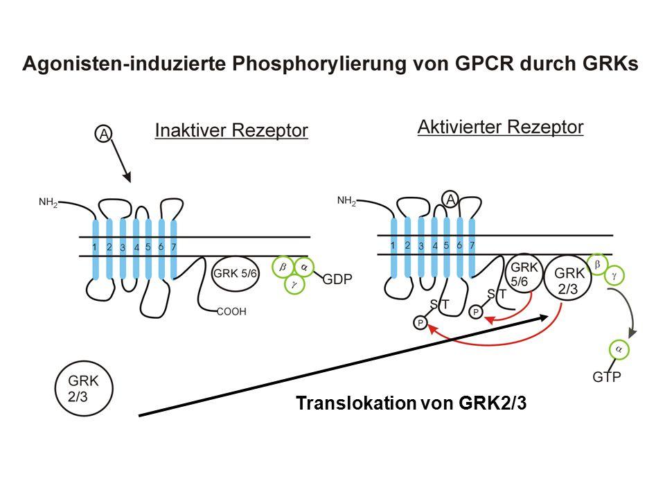 Translokation von GRK2/3
