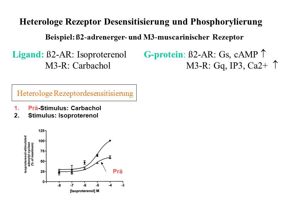 Heterologe Rezeptor Desensitisierung und Phosphorylierung Beispiel: ß2-adrenerger- und M3-muscarinischer Rezeptor Ligand: ß2-AR: Isoproterenol M3-R: C
