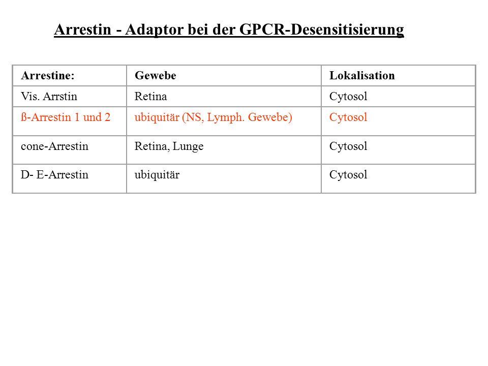 Arrestin - Adaptor bei der GPCR-Desensitisierung Phosphorylierungserkennung Clathrinbindung Erkennung des akt. Rezeptors 48 kD Arrestine:GewebeLokalis
