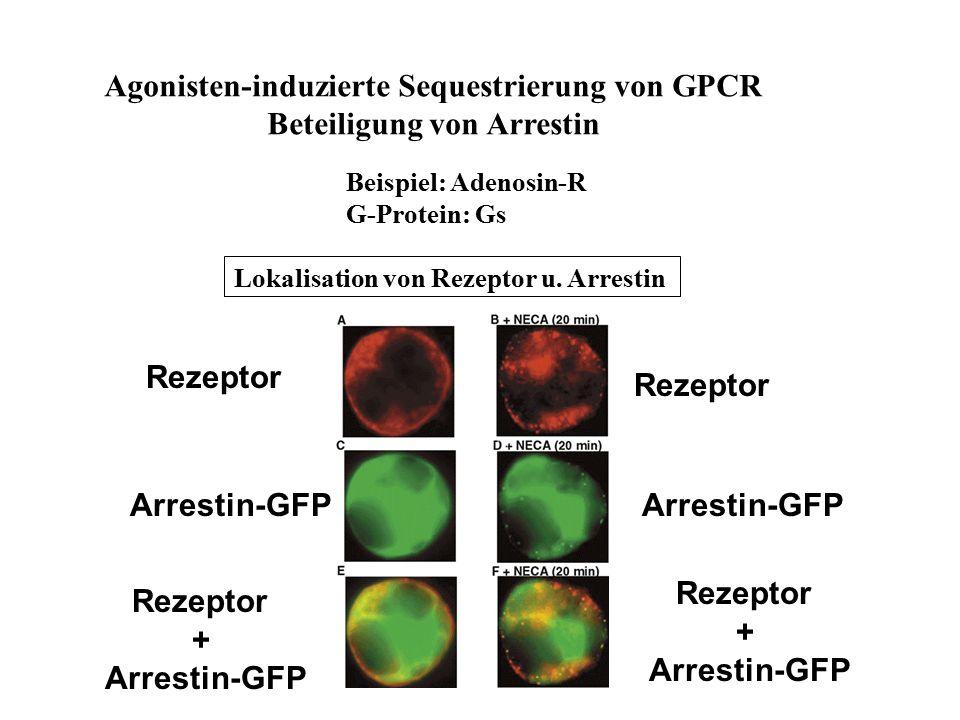 Agonisten-induzierte Sequestrierung von GPCR Beteiligung von Arrestin Beispiel: Adenosin-R G-Protein: Gs Lokalisation von Rezeptor u. Arrestin Rezepto