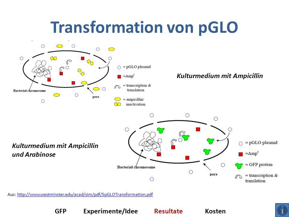 Transformation von pGLO Aus: http://www.westminster.edu/acad/sim/pdf/SpGLOTransformation.pdfhttp://www.westminster.edu/acad/sim/pdf/SpGLOTransformation.pdf GFPExperimente/IdeeResultateKosten Kulturmedium mit Ampicillin Kulturmedium mit Ampicillin und Arabinose