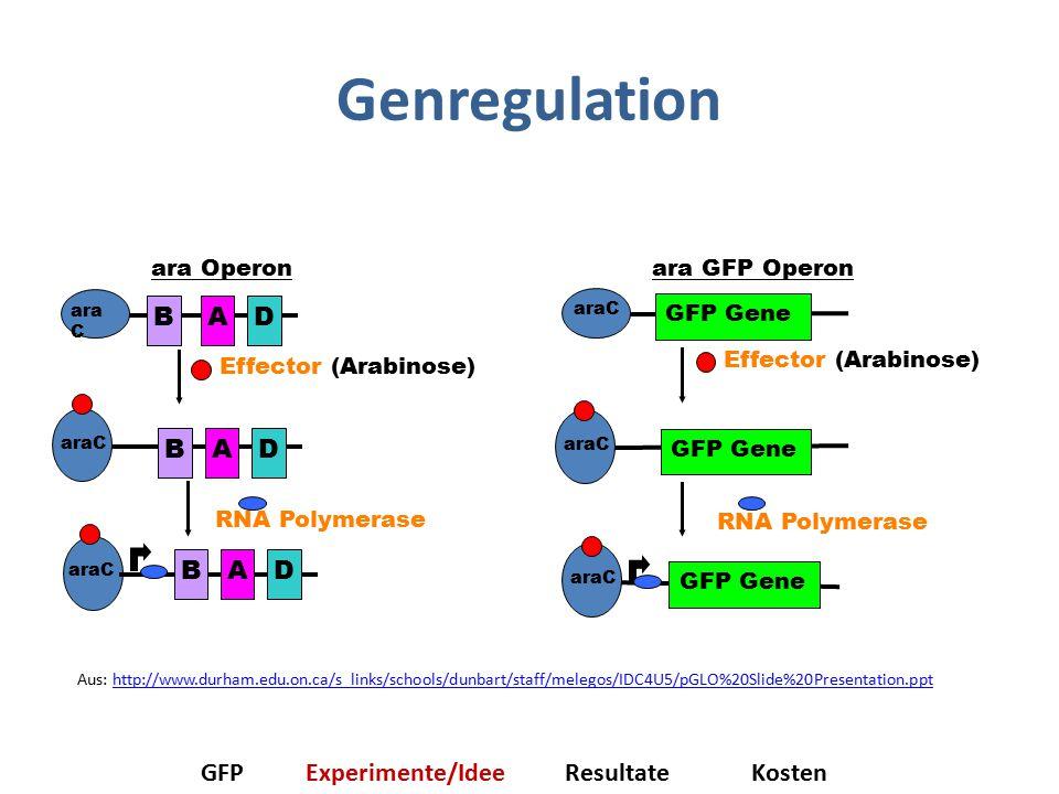 Genregulation RNA Polymerase araC ara GFP Operon GFP Gene araC GFP Gene araC GFP Gene Effector (Arabinose) BAD araC BAD RNA Polymerase Effector (Arabinose) araC BAD ara Operon GFPExperimente/IdeeResultateKosten Aus: http://www.durham.edu.on.ca/s_links/schools/dunbart/staff/melegos/IDC4U5/pGLO%20Slide%20Presentation.ppthttp://www.durham.edu.on.ca/s_links/schools/dunbart/staff/melegos/IDC4U5/pGLO%20Slide%20Presentation.ppt