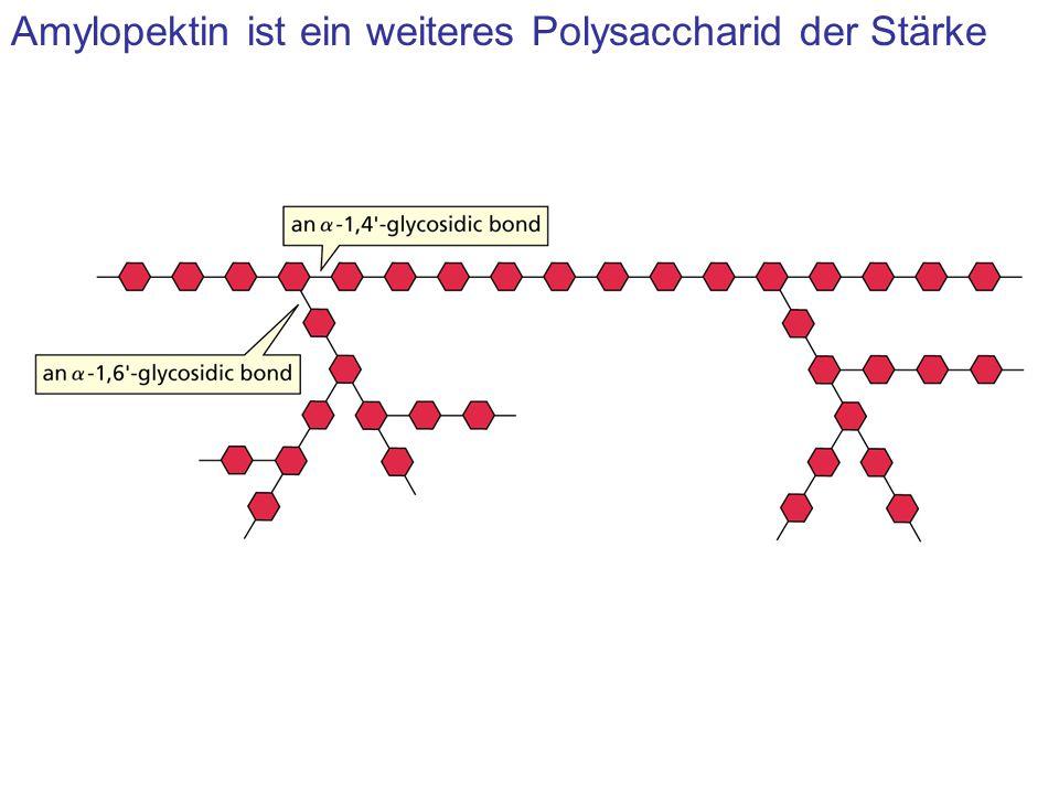 Amylopektin ist ein weiteres Polysaccharid der Stärke