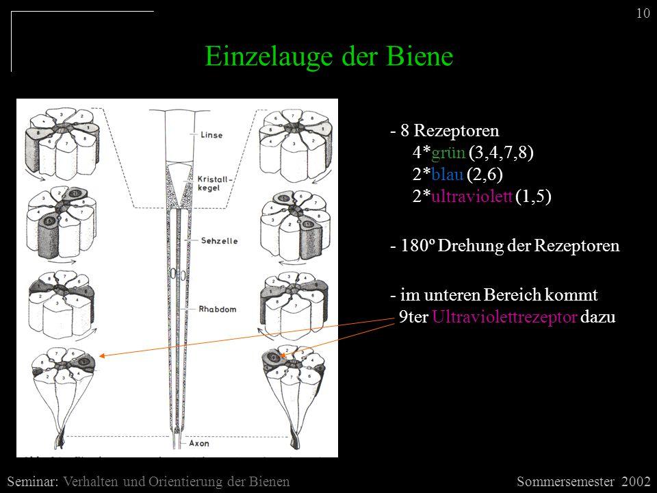 Einzelauge der Biene Sommersemester 2002Seminar: Verhalten und Orientierung der Bienen 10 - 8 Rezeptoren 4*grün (3,4,7,8) 2*blau (2,6) 2*ultraviolett