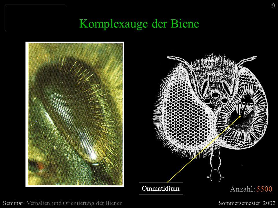Einzelauge der Biene Sommersemester 2002Seminar: Verhalten und Orientierung der Bienen 10 - 8 Rezeptoren 4*grün (3,4,7,8) 2*blau (2,6) 2*ultraviolett (1,5) - 180º Drehung der Rezeptoren - im unteren Bereich kommt 9ter Ultraviolettrezeptor dazu