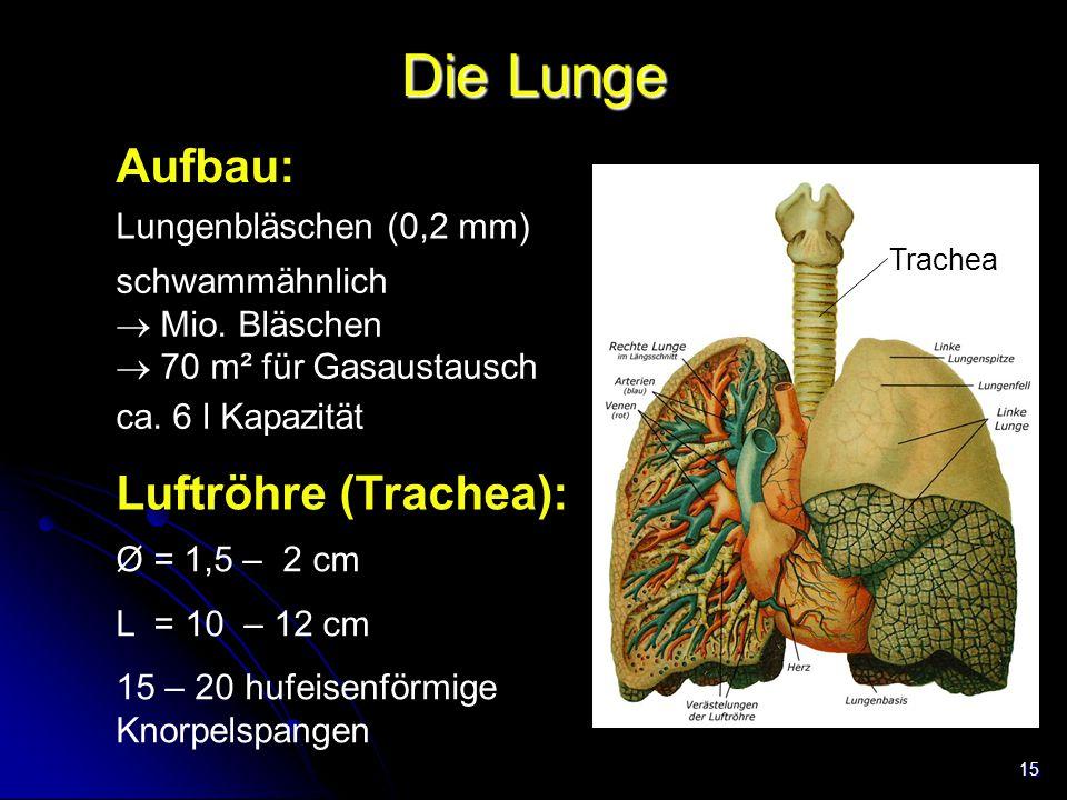 15 Die Lunge Aufbau: Lungenbläschen (0,2 mm) schwammähnlich  Mio. Bläschen  70 m² für Gasaustausch Trachea ca. 6 l Kapazität Luftröhre (Trachea): Ø
