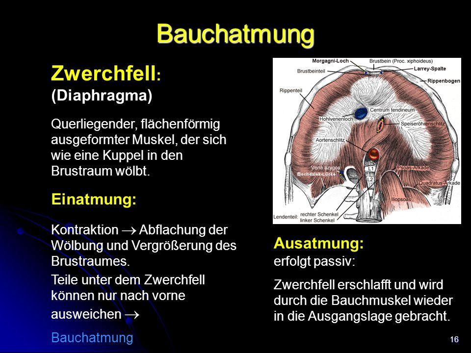 16 Bauchatmung Zwerchfell : (Diaphragma) Querliegender, flächenförmig ausgeformter Muskel, der sich wie eine Kuppel in den Brustraum wölbt. Trachea Ei