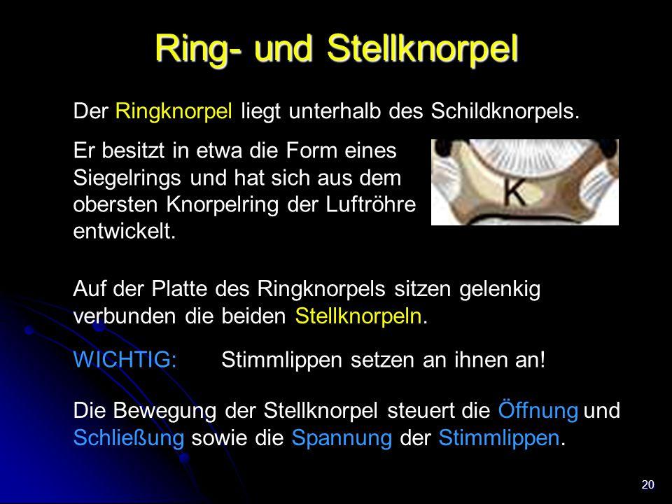 20 Ring- und Stellknorpel Der Ringknorpel liegt unterhalb des Schildknorpels. Trachea Auf der Platte des Ringknorpels sitzen gelenkig verbunden die be