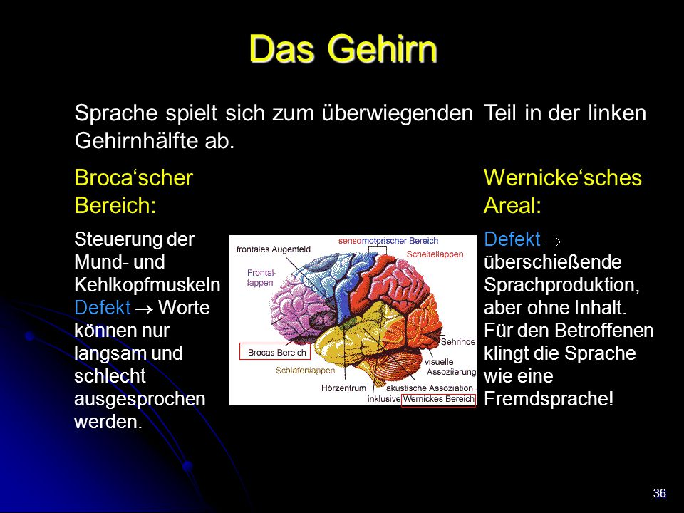 36 Das Gehirn Sprache spielt sich zum überwiegenden Teil in der linken Gehirnhälfte ab. Broca'scher Bereich: Steuerung der Mund- und Kehlkopfmuskeln D
