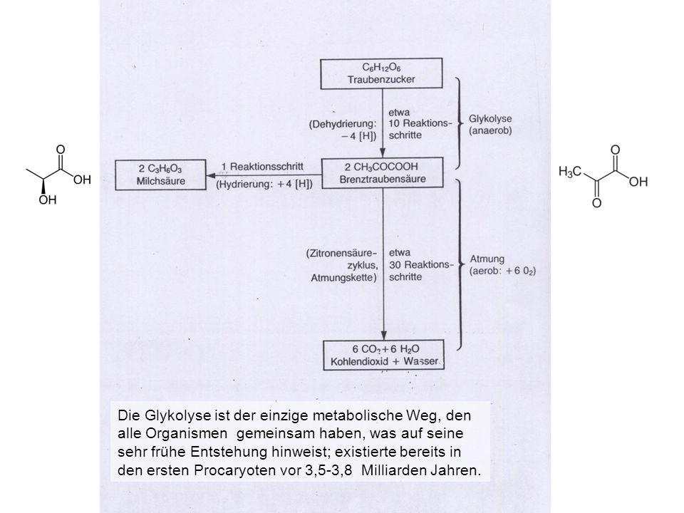 Die Glykolyse ist der einzige metabolische Weg, den alle Organismen gemeinsam haben, was auf seine sehr frühe Entstehung hinweist; existierte bereits