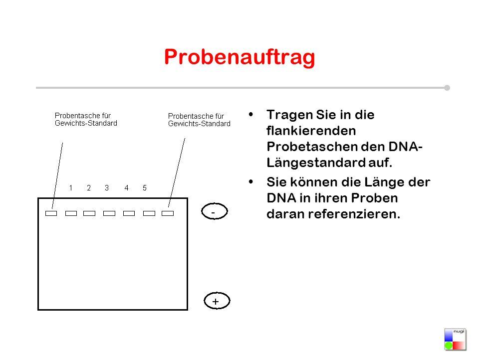 Probenauftrag Tragen Sie in die flankierenden Probetaschen den DNA- Längestandard auf. Sie können die Länge der DNA in ihren Proben daran referenziere