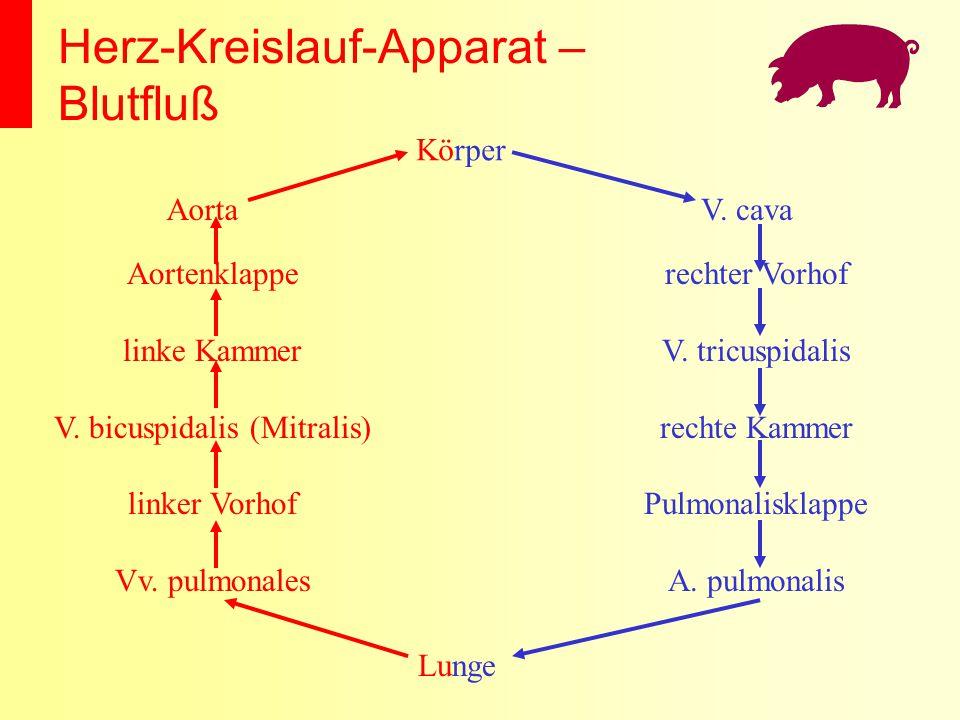 Herz-Kreislauf-Apparat – Blutfluß Körper Lunge V. cava rechter Vorhof V. tricuspidalis rechte Kammer Pulmonalisklappe A. pulmonalis Aorta Aortenklappe