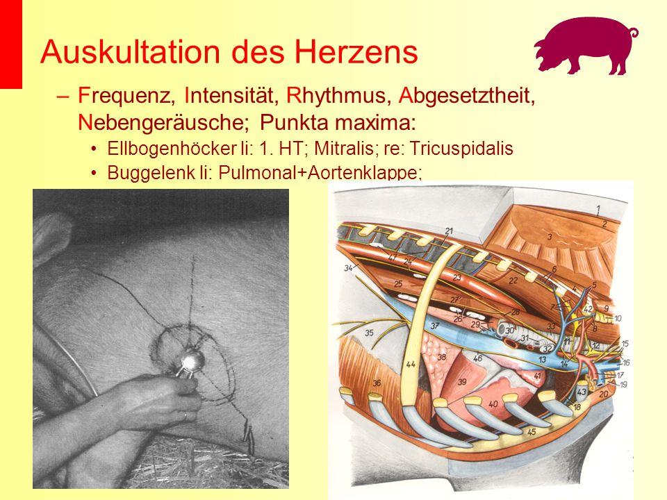 Auskultation des Herzens –Frequenz, Intensität, Rhythmus, Abgesetztheit, Nebengeräusche; Punkta maxima: Ellbogenhöcker li: 1. HT; Mitralis; re: Tricus