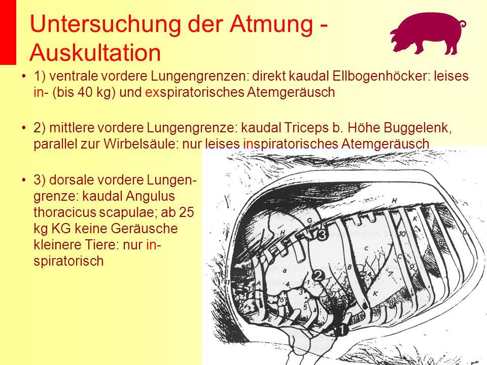 Untersuchung der Atmung - Auskultation 1) ventrale vordere Lungengrenzen: direkt kaudal Ellbogenhöcker: leises in- (bis 40 kg) und exspiratorisches At