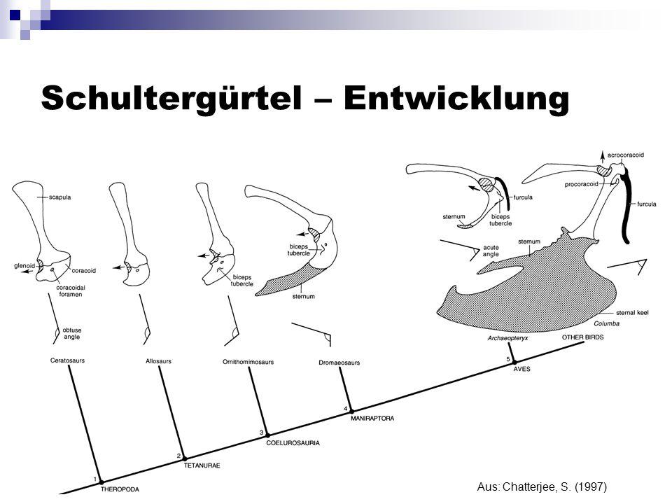 Schultergürtel – Entwicklung Aus: Chatterjee, S. (1997)