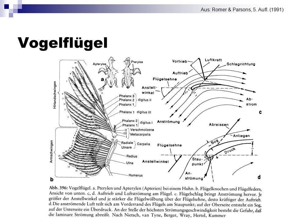 Vogelflügel Aus: Romer & Parsons, 5. Aufl. (1991)