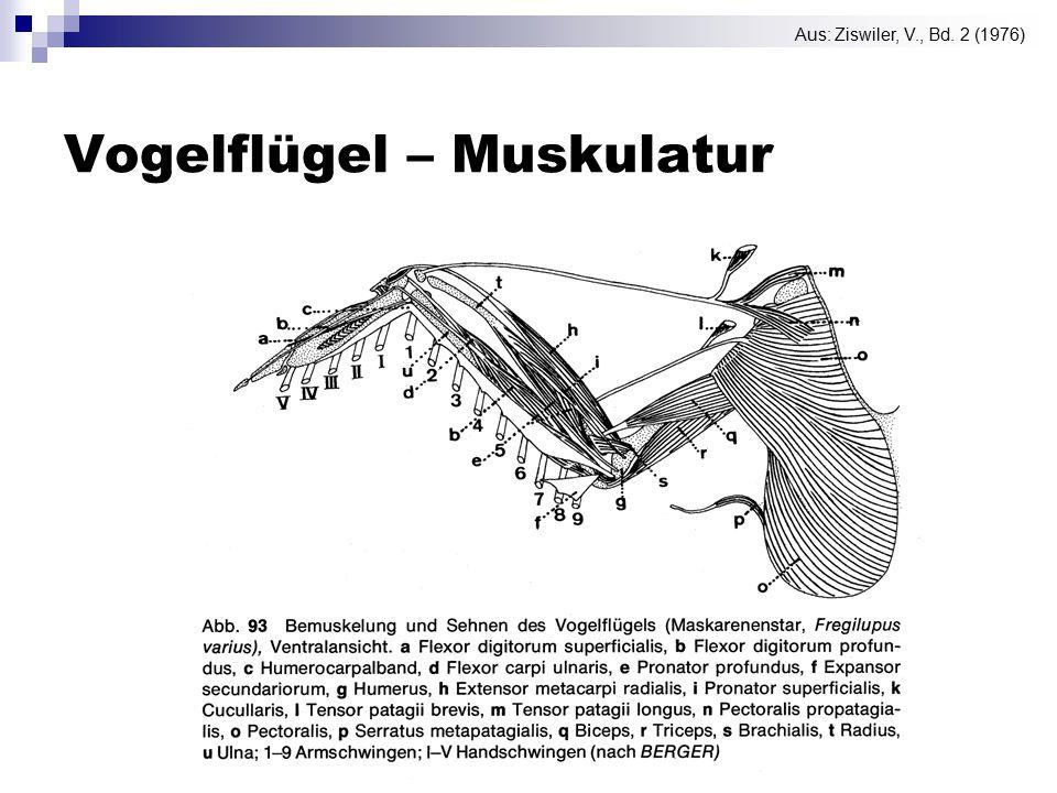 Vogelflügel – Muskulatur Aus: Ziswiler, V., Bd. 2 (1976)
