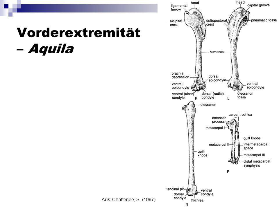 Vorderextremität – Aquila Aus: Chatterjee, S. (1997)