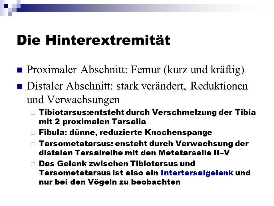 Die Hinterextremität Proximaler Abschnitt: Femur (kurz und kräftig) Distaler Abschnitt: stark verändert, Reduktionen und Verwachsungen  Tibiotarsus:e