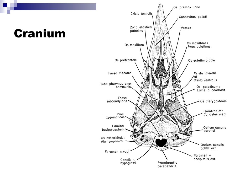Vertebra A – Th2, cranial B – C9, cranial C – C9, dorsal D – C, generalisiert, craniolat.