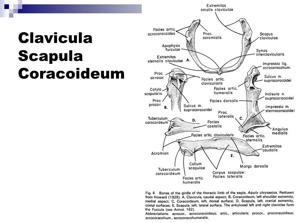 Clavicula Scapula Coracoideum
