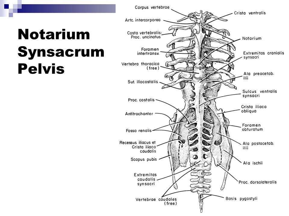 Notarium Synsacrum Pelvis