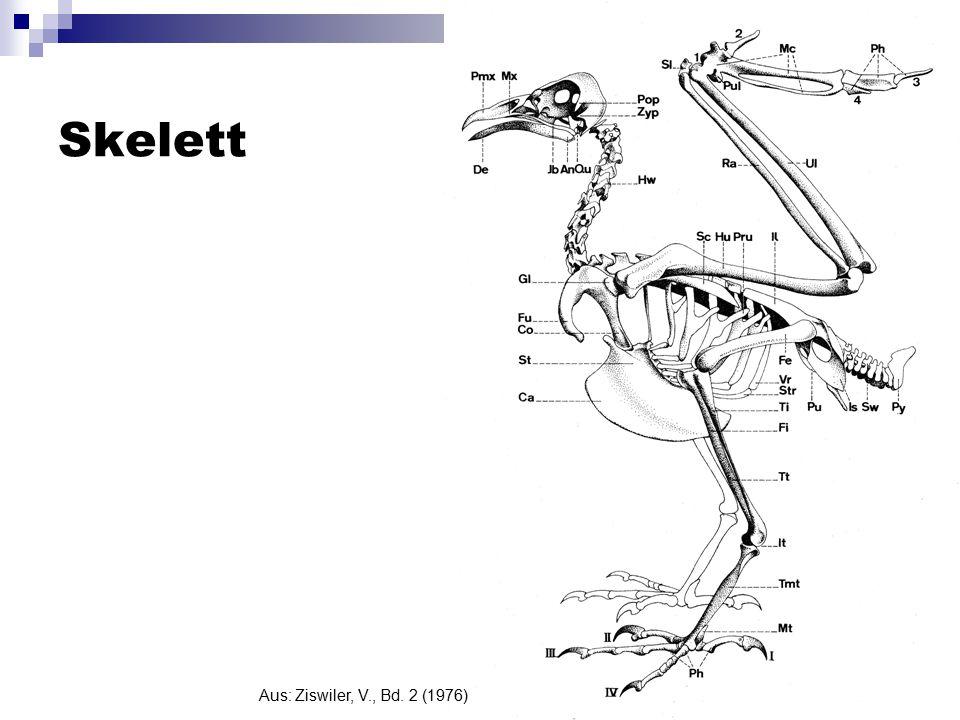 Skelett Aus: Ziswiler, V., Bd. 2 (1976)