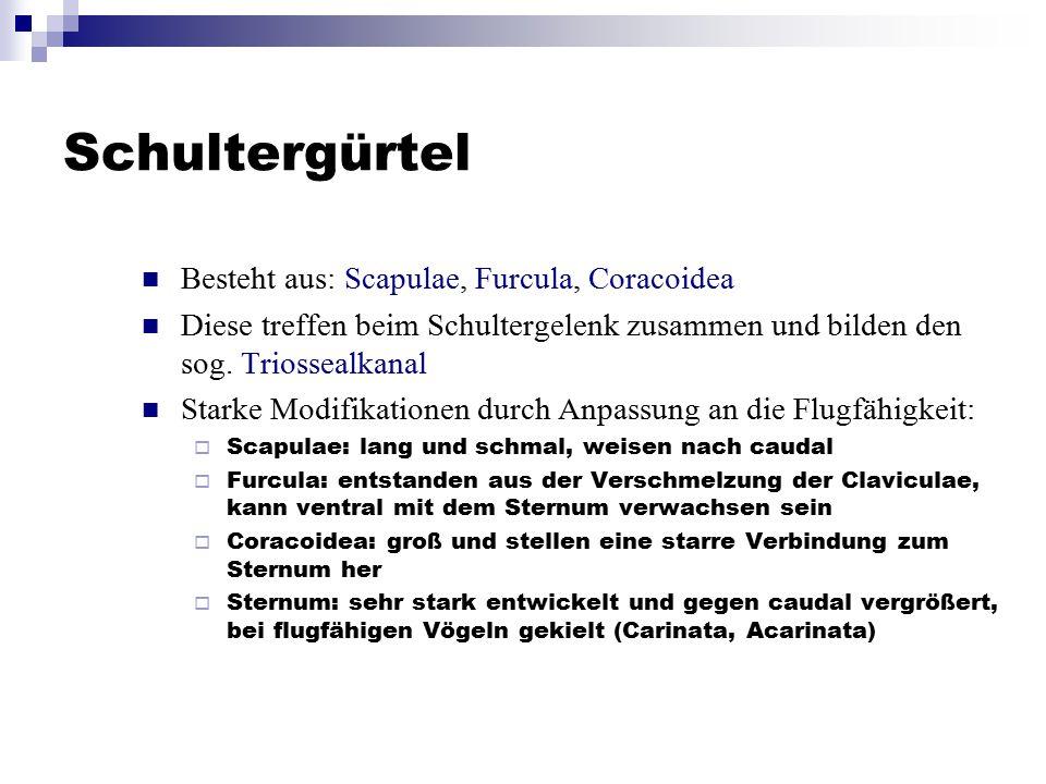 Schultergürtel Besteht aus: Scapulae, Furcula, Coracoidea Diese treffen beim Schultergelenk zusammen und bilden den sog. Triossealkanal Starke Modifik