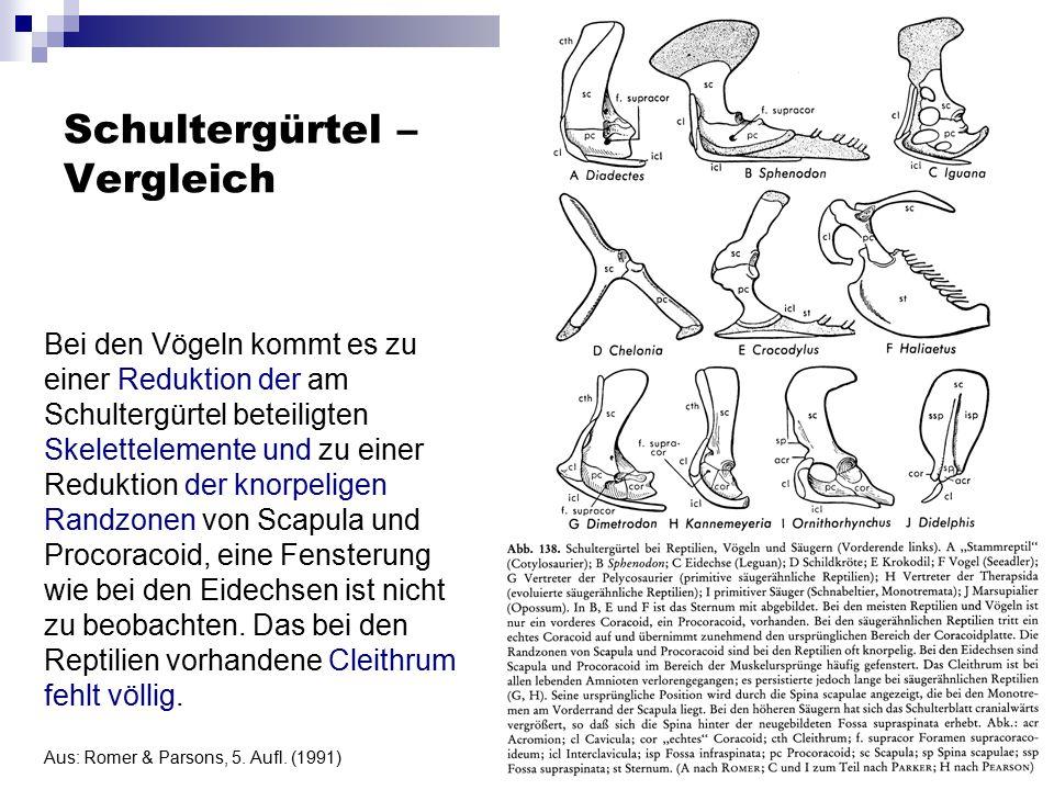 Schultergürtel – Vergleich Bei den Vögeln kommt es zu einer Reduktion der am Schultergürtel beteiligten Skelettelemente und zu einer Reduktion der kno