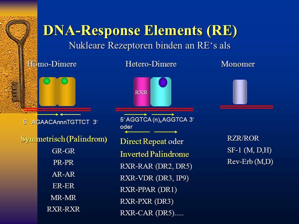 DNA-Response Elements (RE) Symmetrisch (Palindrom ) GR-GRPR-PRAR-ARER-ERMR-MRRXR-RXR 5' AGAACAnnnTGTTCT 3' Nukleare Rezeptoren binden an RE's als Homo