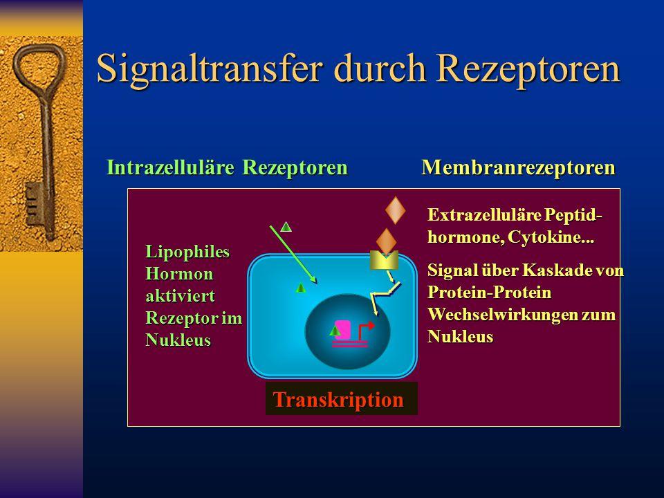 Signaltransfer durch Rezeptoren Intrazelluläre Rezeptoren Membranrezeptoren Transkription Lipophiles Hormon aktiviert Rezeptor im Nukleus Peptid- horm
