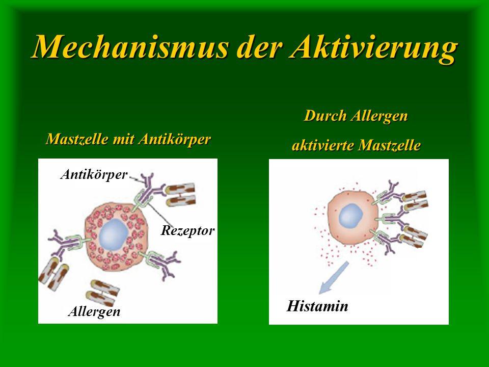Mechanismus der Aktivierung Mastzelle mit Antikörper Durch Allergen aktivierte Mastzelle Histamin Allergen Rezeptor Antikörper