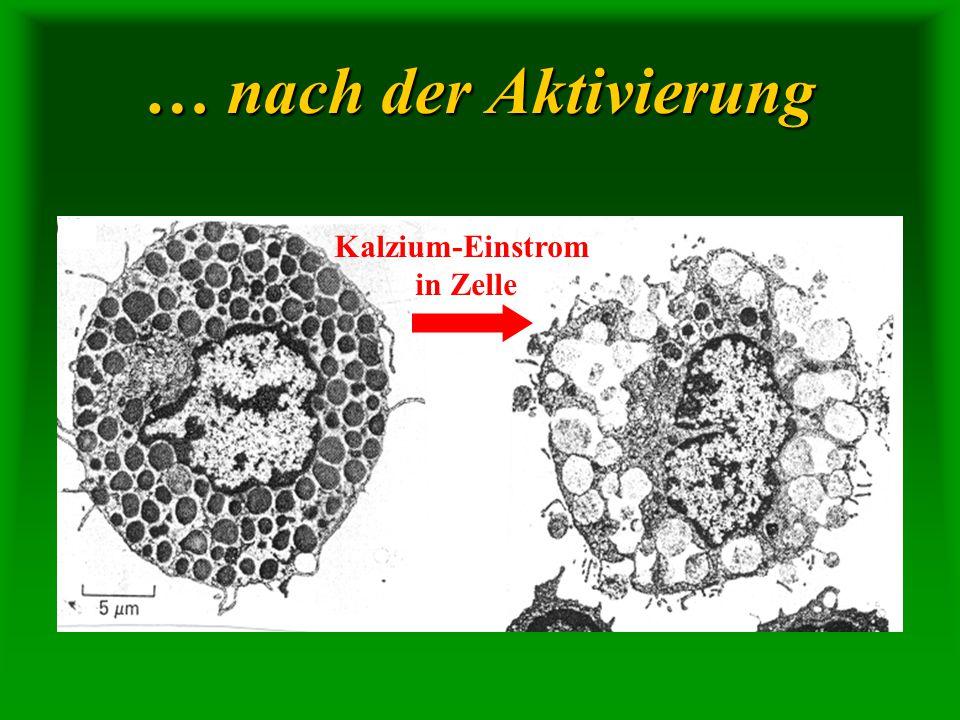 … nach der Aktivierung Kalzium-Einstrom in Zelle