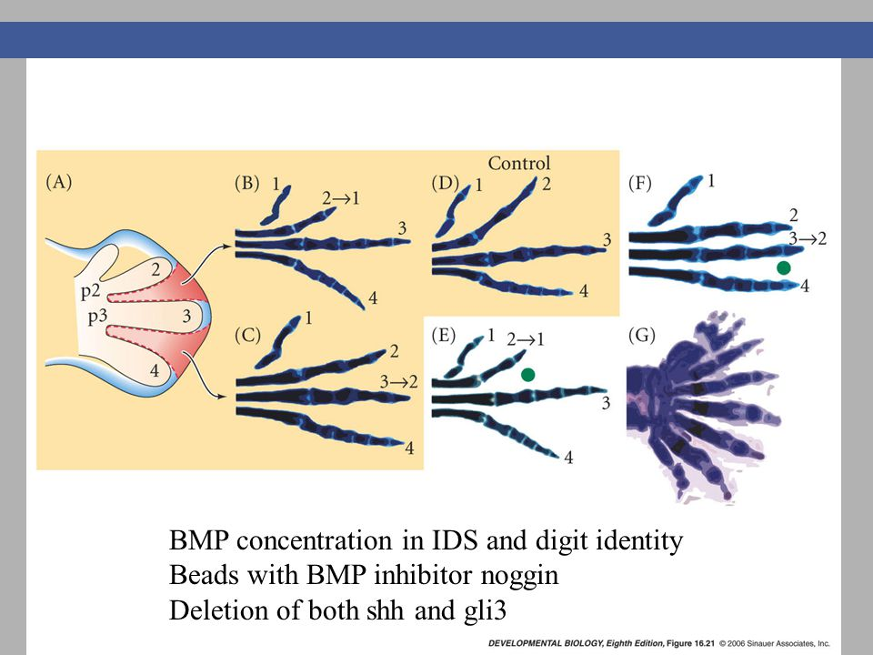 BMP concentration in IDS and digit identity Beads with BMP inhibitor noggin Deletion of both shh and gli3