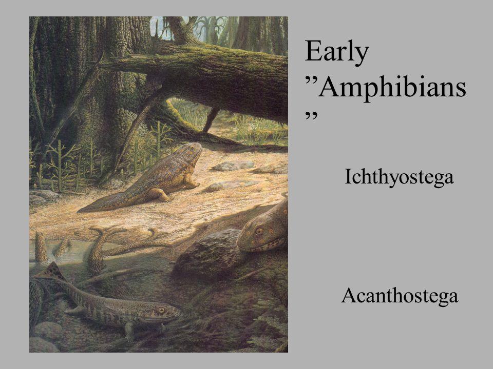 Ichthyostega Acanthostega Early Amphibians