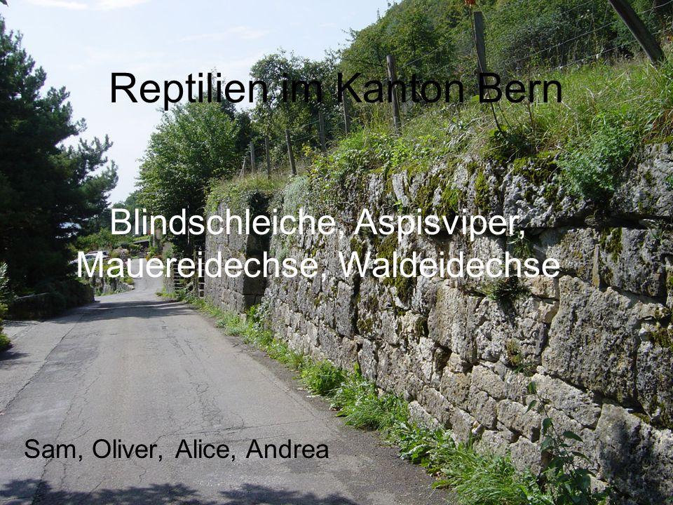 Reptilien im Kanton Bern Sam, Oliver, Alice, Andrea Blindschleiche, Aspisviper, Mauereidechse, Waldeidechse
