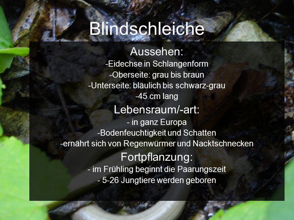 Blindschleiche Aussehen: -Eidechse in Schlangenform -Oberseite: grau bis braun -Unterseite: bläulich bis schwarz-grau -45 cm lang Lebensraum/-art: - i
