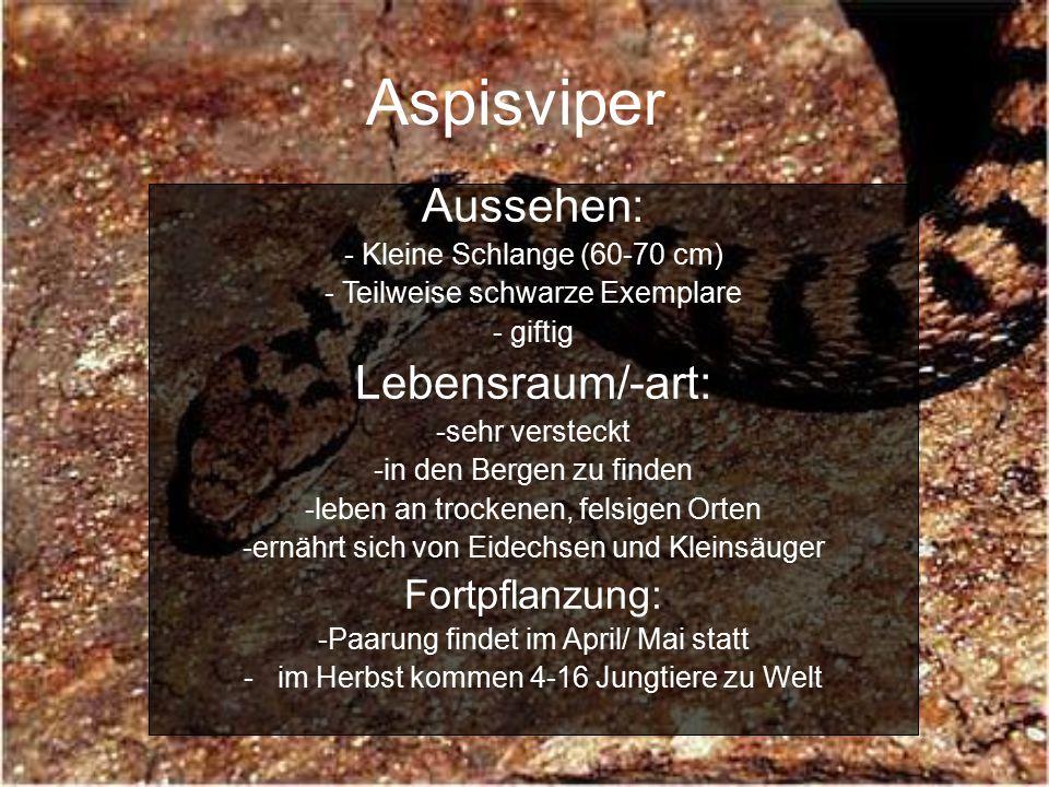 Aspisviper Aussehen: - Kleine Schlange (60-70 cm) - Teilweise schwarze Exemplare - giftig Lebensraum/-art: -sehr versteckt -in den Bergen zu finden -leben an trockenen, felsigen Orten -ernährt sich von Eidechsen und Kleinsäuger Fortpflanzung: -Paarung findet im April/ Mai statt - im Herbst kommen 4-16 Jungtiere zu Welt