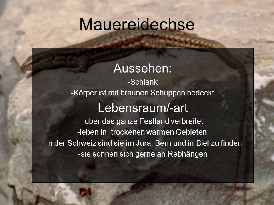 Mauereidechse Aussehen: -Schlank -Körper ist mit braunen Schuppen bedeckt Lebensraum/-art -über das ganze Festland verbreitet -leben in trockenen warmen Gebieten -In der Schweiz sind sie im Jura, Bern und in Biel zu finden -sie sonnen sich gerne an Rebhängen