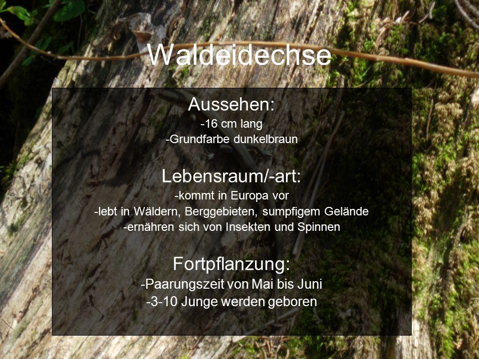Waldeidechse Aussehen: -16 cm lang -Grundfarbe dunkelbraun Lebensraum/-art: -kommt in Europa vor -lebt in Wäldern, Berggebieten, sumpfigem Gelände -ernähren sich von Insekten und Spinnen Fortpflanzung: -Paarungszeit von Mai bis Juni -3-10 Junge werden geboren