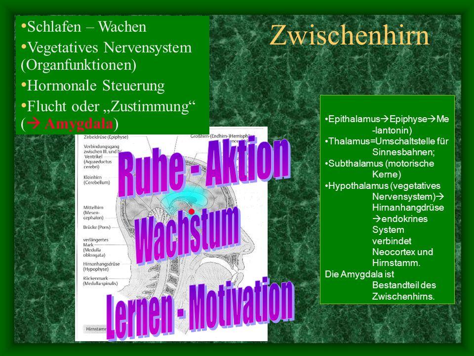 """Kleinhirn - Hirnstamm Der Hirnstamm (mit Kleinhirn) """"steuert alle motorischen, sensorischen und vegetativen Körperfunktionen."""